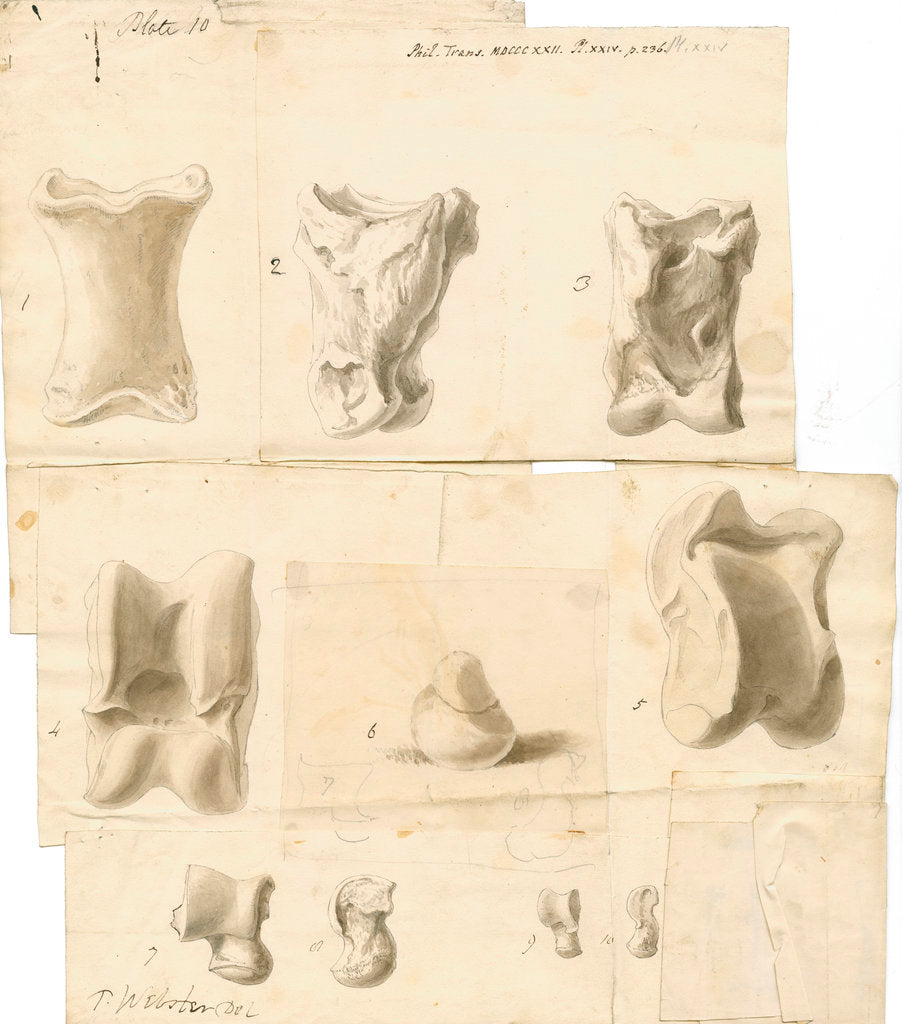 Detail of Fossil bones of horse, ox, hyaena, fox, water-rat, and rabbit with hyaena coprolite by Thomas Webster