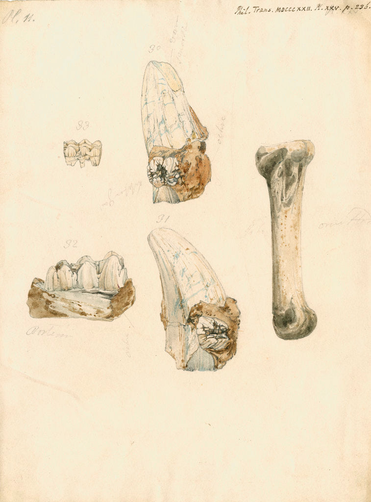 Detail of Fossil teeth and bones of boar by H O'Neil