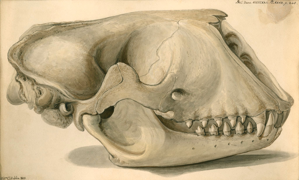 Detail of Seal skull by William Clift