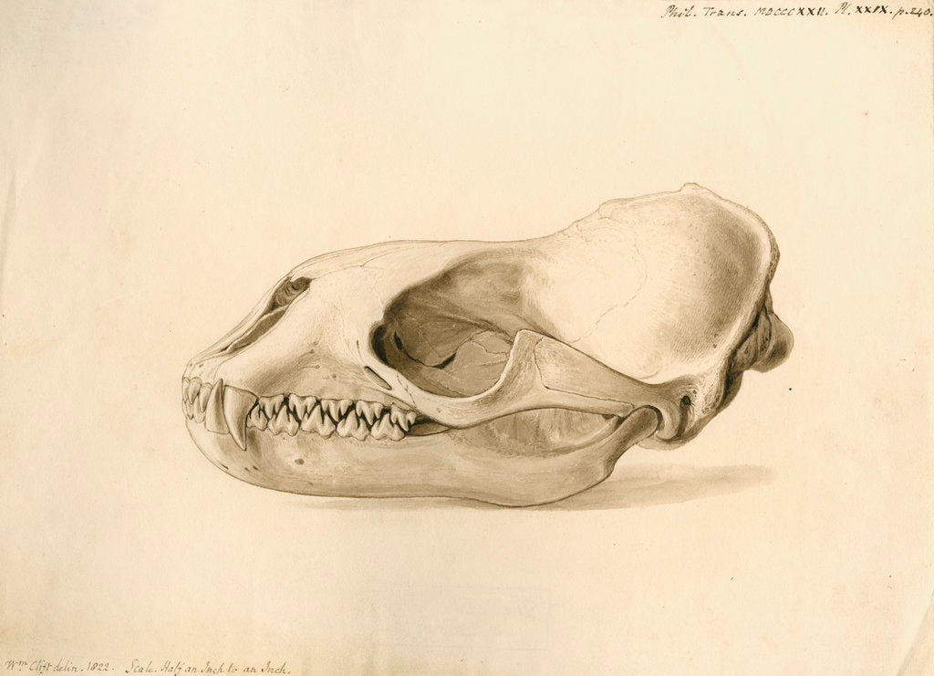 Detail of New Georgia seal skull by William Clift