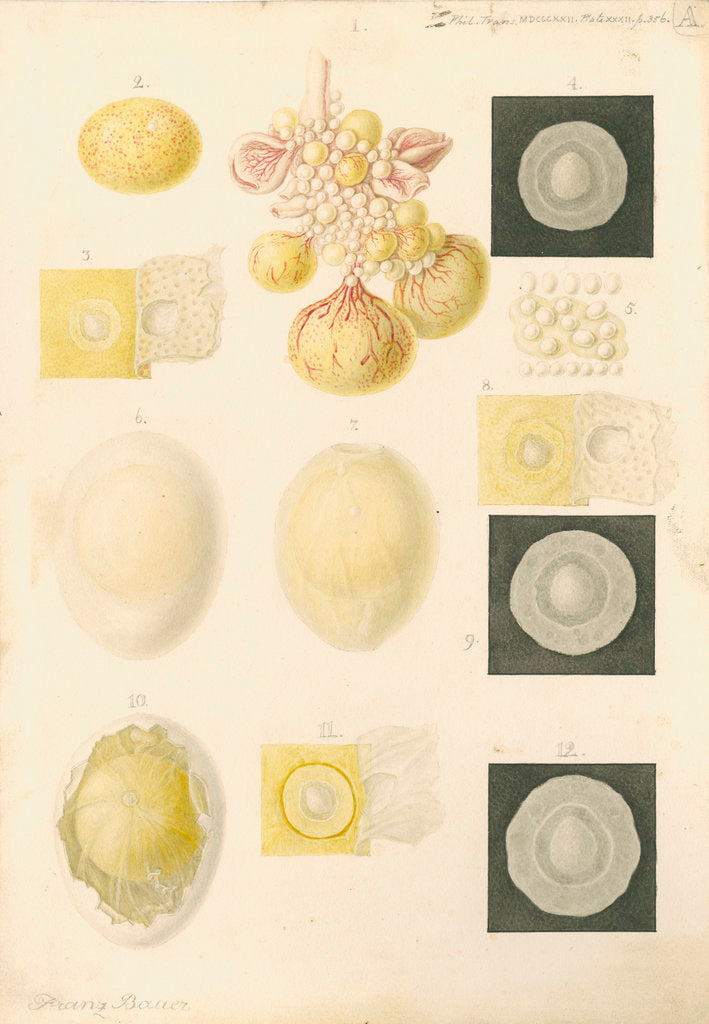 Detail of Ovum of a hen and egg yolks by Franz Andreas Bauer
