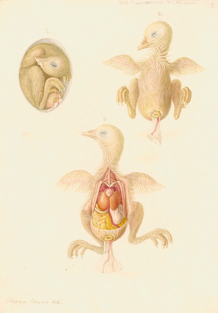 Detail of Chicken embryo by Franz Andreas Bauer