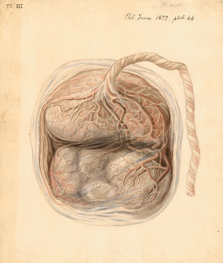 Detail of Monkey placenta by William Clift