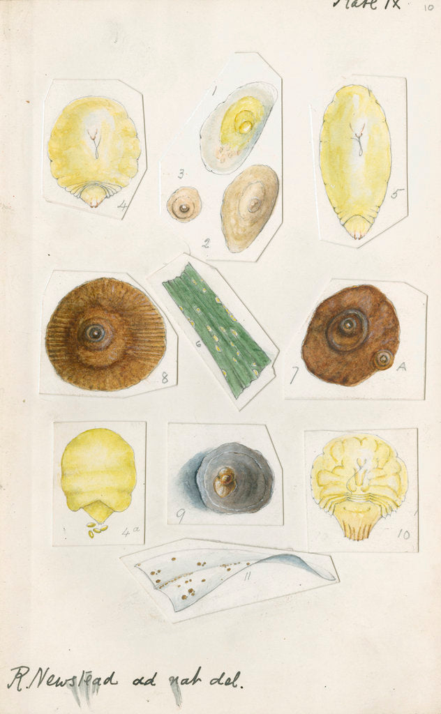 Aspidiotus cyanophyll [Cyanophyllum scale] and Aspidiotus dictyospermi [Spanish red scale] by Robert Newstead