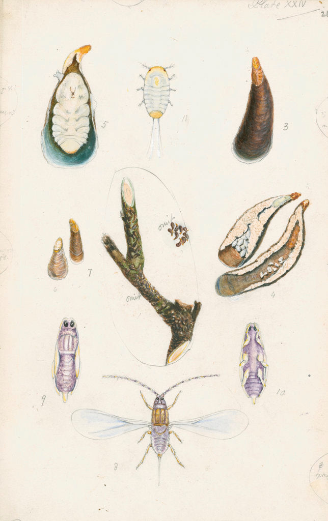 Detail of Mytilaspis pomorum [Mussel scale] by Robert Newstead