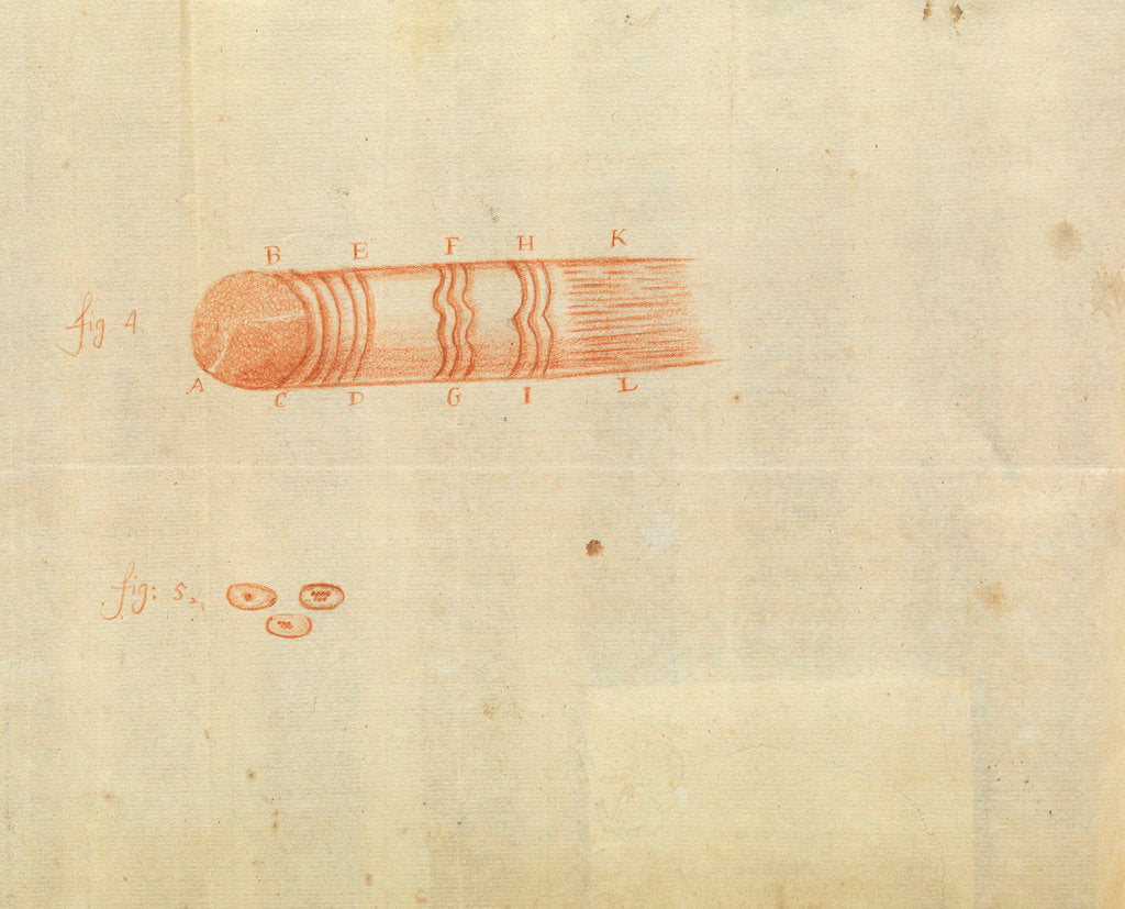 Detail of Microscopic views of muscle fibres and red blood cells of fish by Antoni van Leeuwenhoek