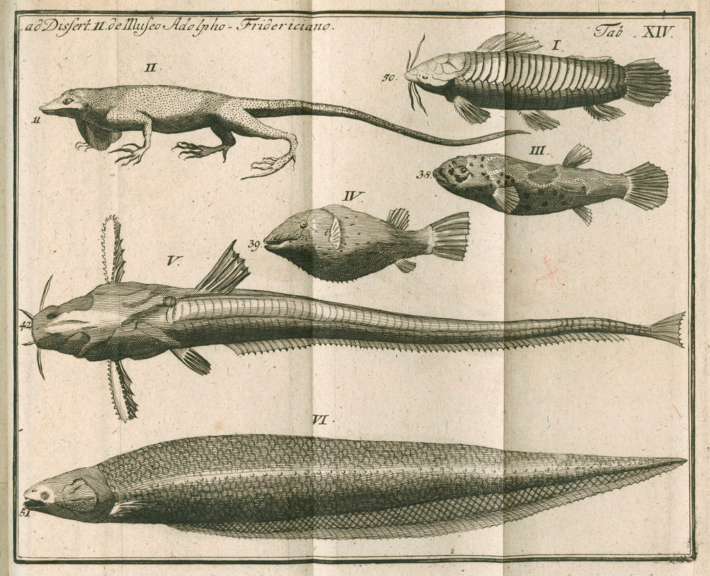Detail of Species of fish and a lizard from Linnaeus's 'Academic delights' by Anonymous