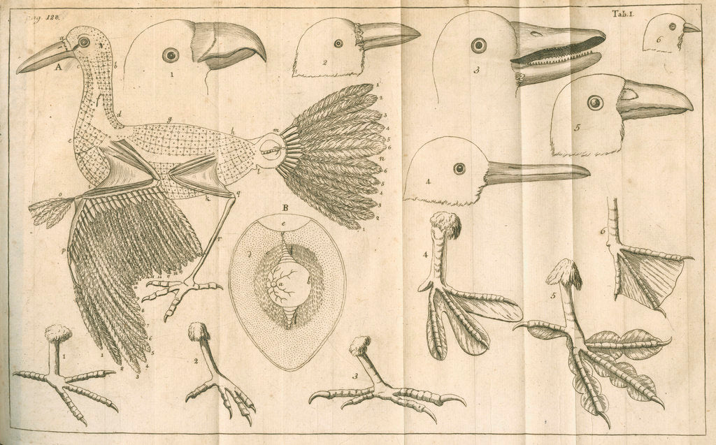 Detail of Comparative study of birds beaks and feet from Linnaeus's 'Academic delights' by Anonymous