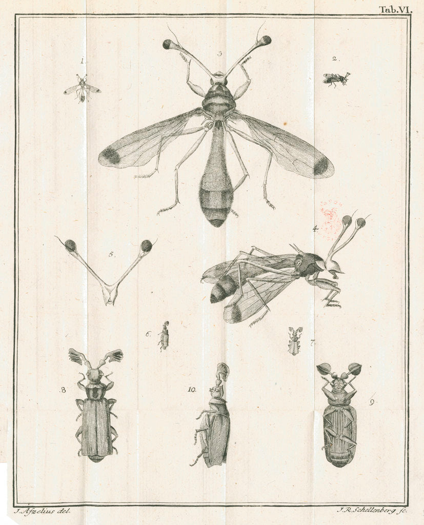 Detail of Insects from Linnaeus's 'Academic delights' by Johann Rudolf Schellenburg