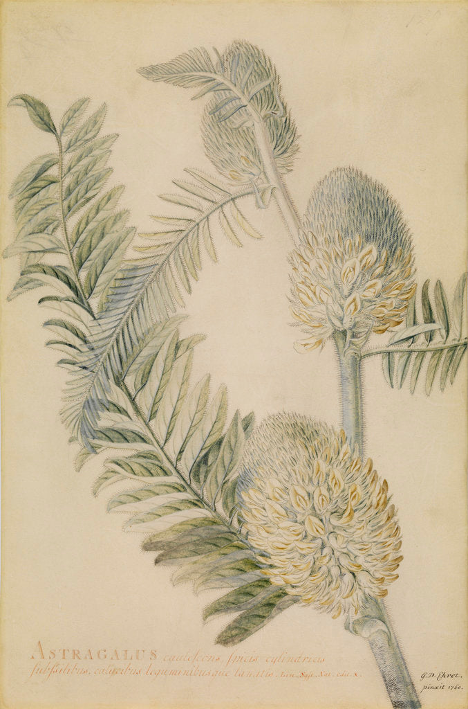 Detail of 'Astragalus caulescens...' by Georg Dionysius Ehret