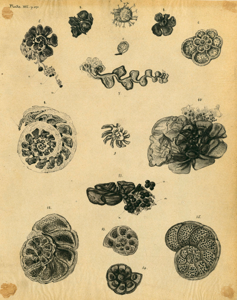 'Fossil remains of the soft parts of Rotaliae in chalk and flint' by Henry Bowman Brady