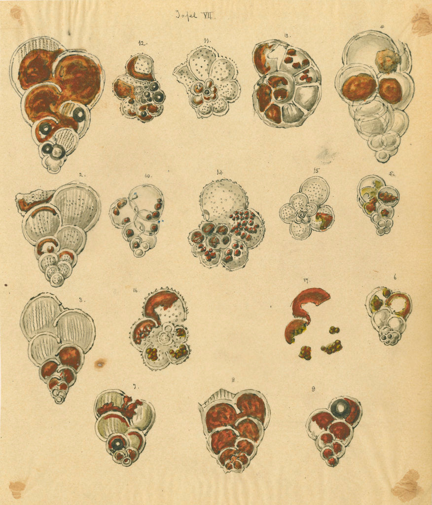 Detail of 'Red sand, yellow sand & brown sand of the yellow chalk' [specimens of foraminifera] by Henry Bowman Brady