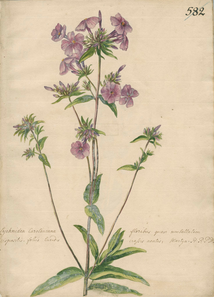 Detail of 'Lychnidea Caroliniana floribus...' by Jacob van Huysum