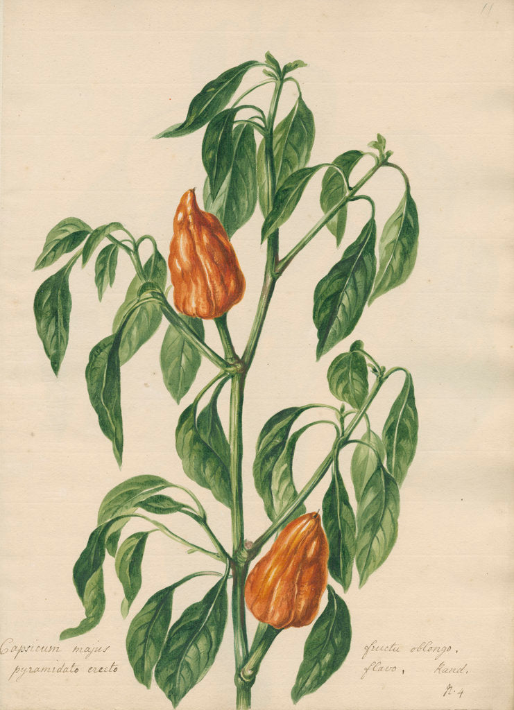 Detail of 'Capsicum majus...' by Jacob van Huysum