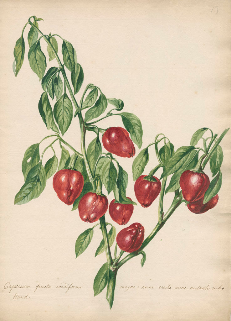 Detail of 'Capsicum fructu cordiformi...' by Jacob van Huysum