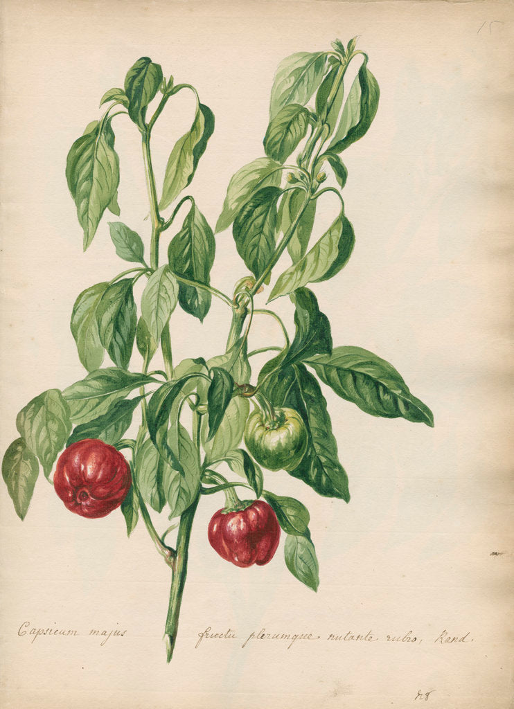 Detail of 'Capsicum majus fructu...' by Jacob van Huysum