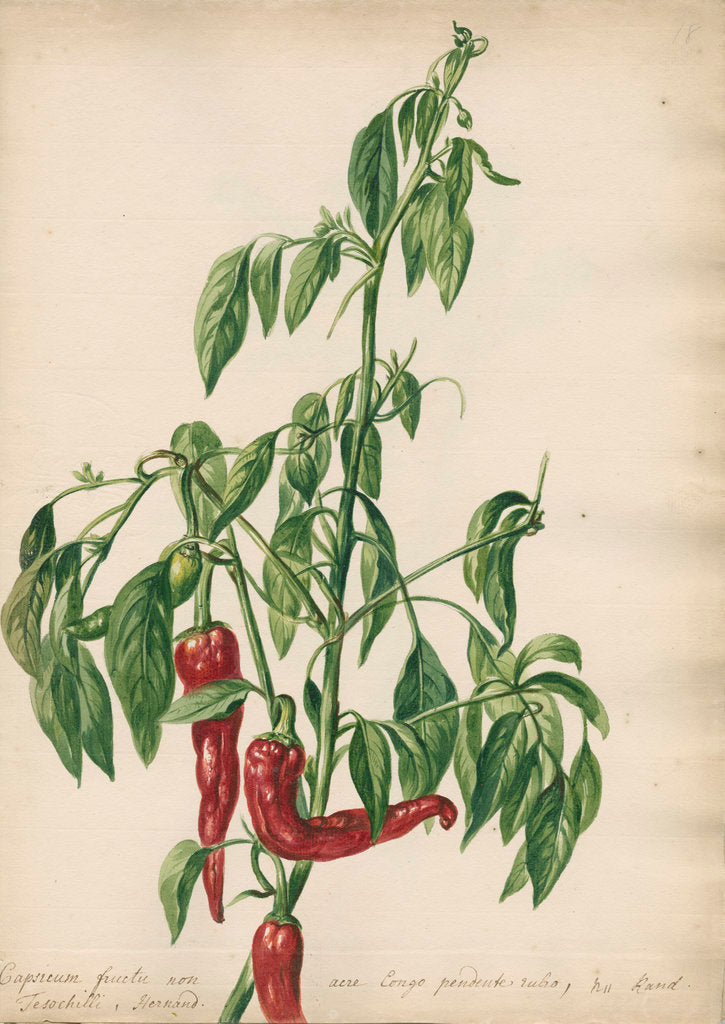 Detail of 'Capsicum fructu non acre...' by Jacob van Huysum