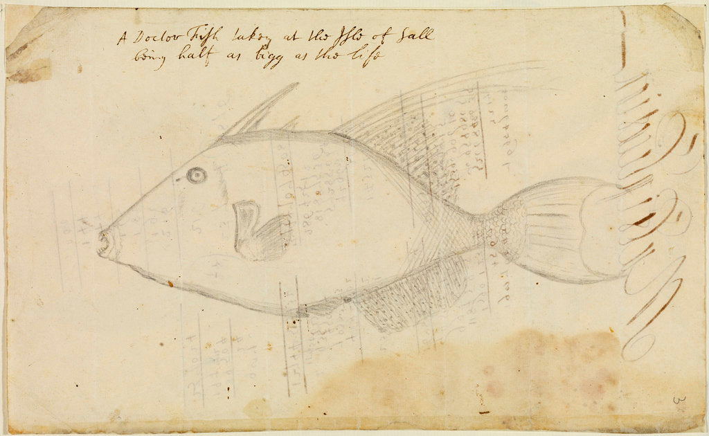 Detail of Doctor fish by Edmond Halley
