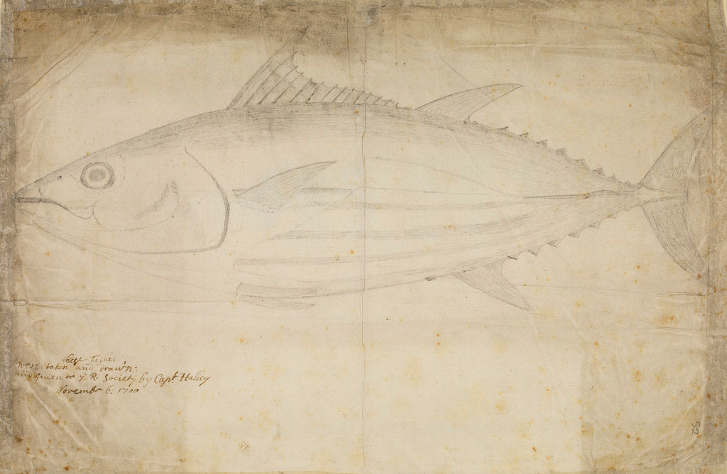 Detail of Tuna fish by Edmond Halley