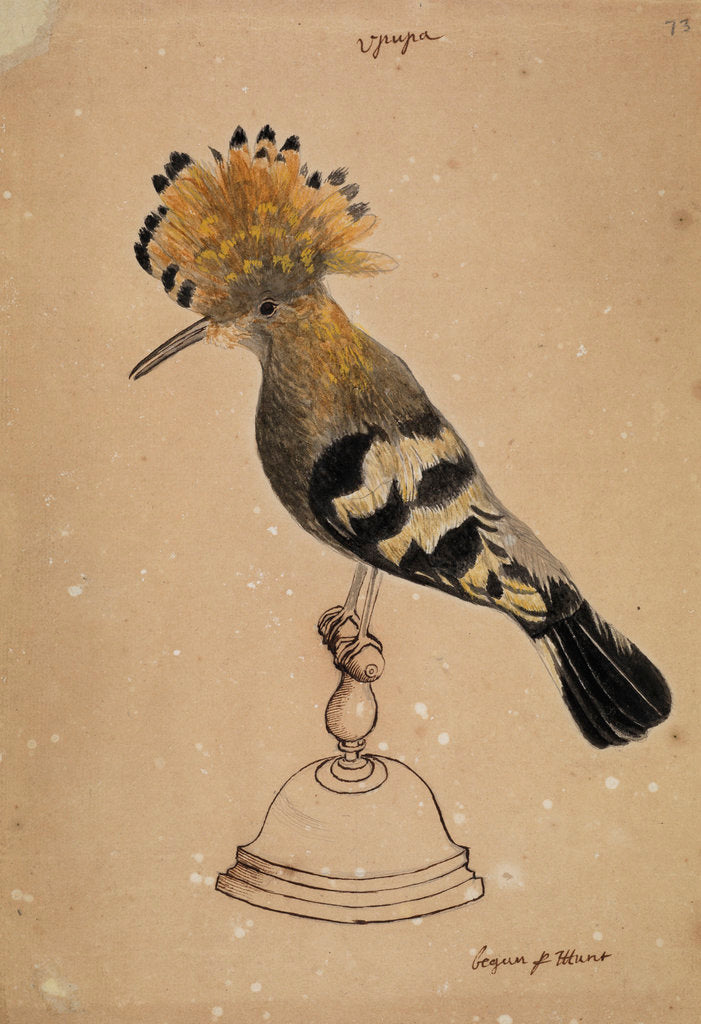 Detail of Hoopoe bird by Henry Hunt