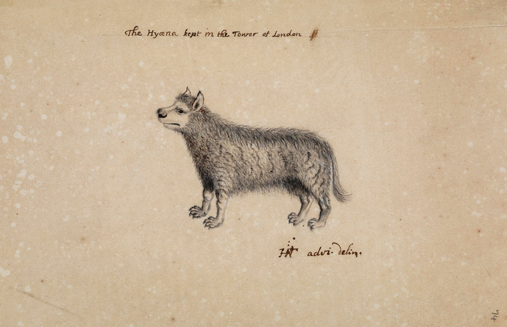 Detail of Hyena kept at the Tower of London by Henry Hunt