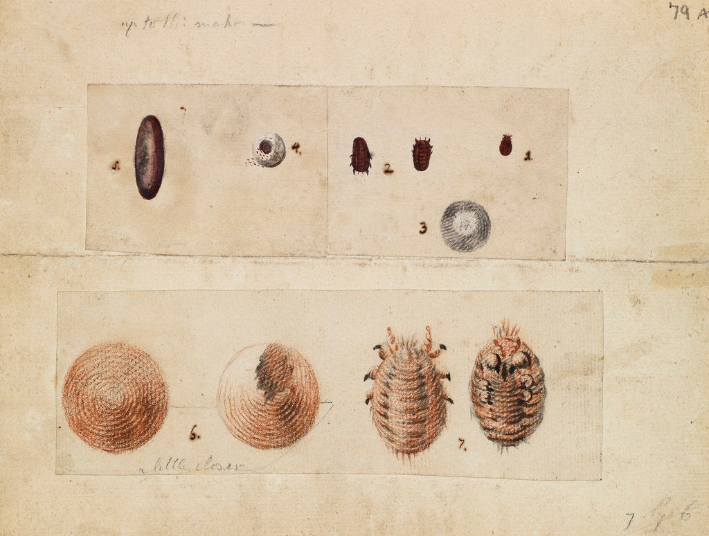 Detail of Polish cochineal insects by James Mynde