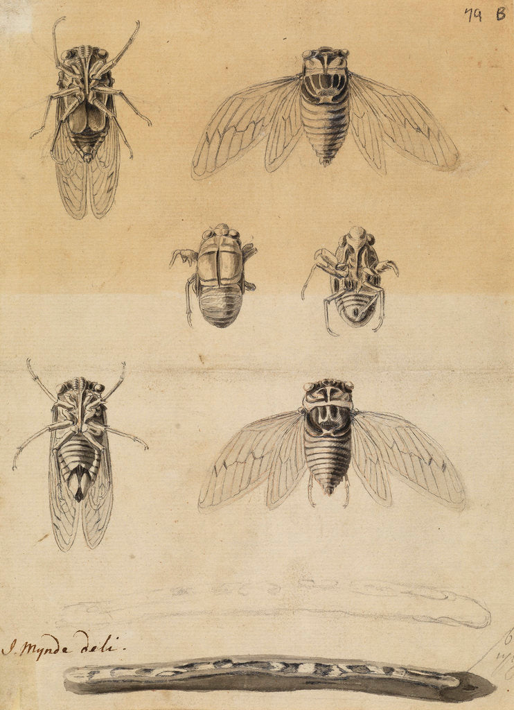 Detail of Cicadas by James Mynde