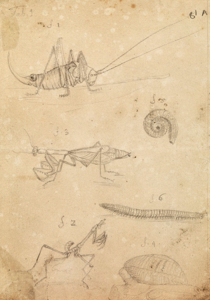 Detail of Cricket and two varieties of mantis by Johannes Philippus Breynius