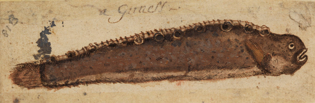Detail of Gunnel fish by Anonymous