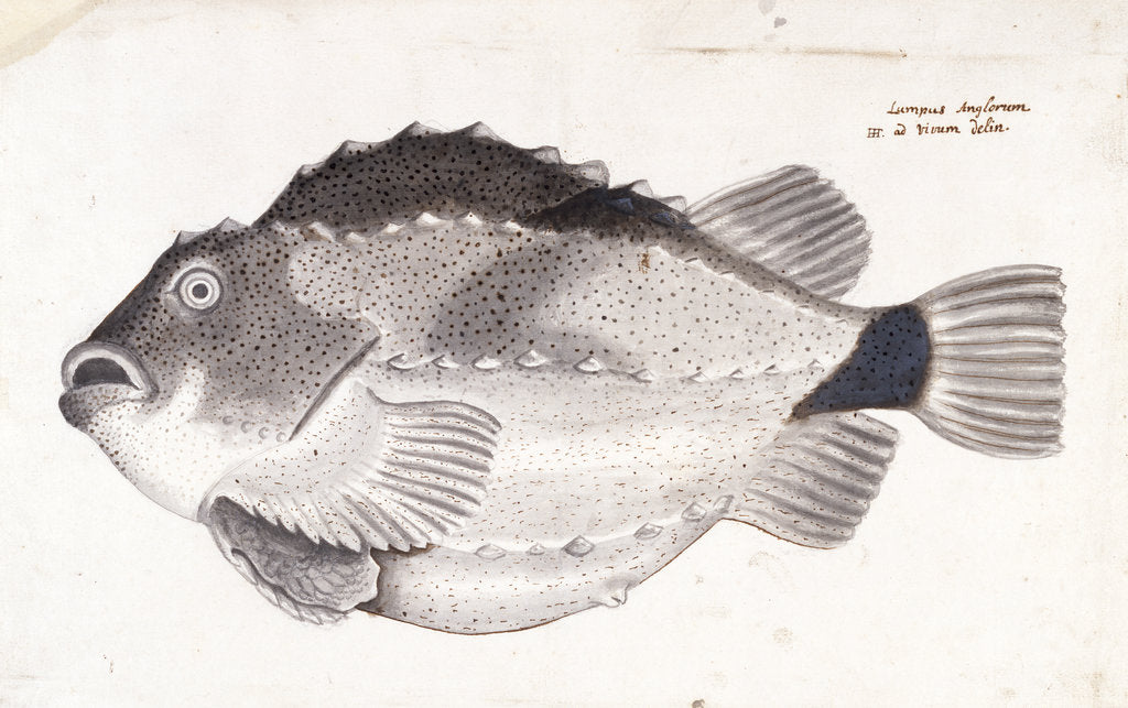 Detail of Lumpfish by Henry Hunt