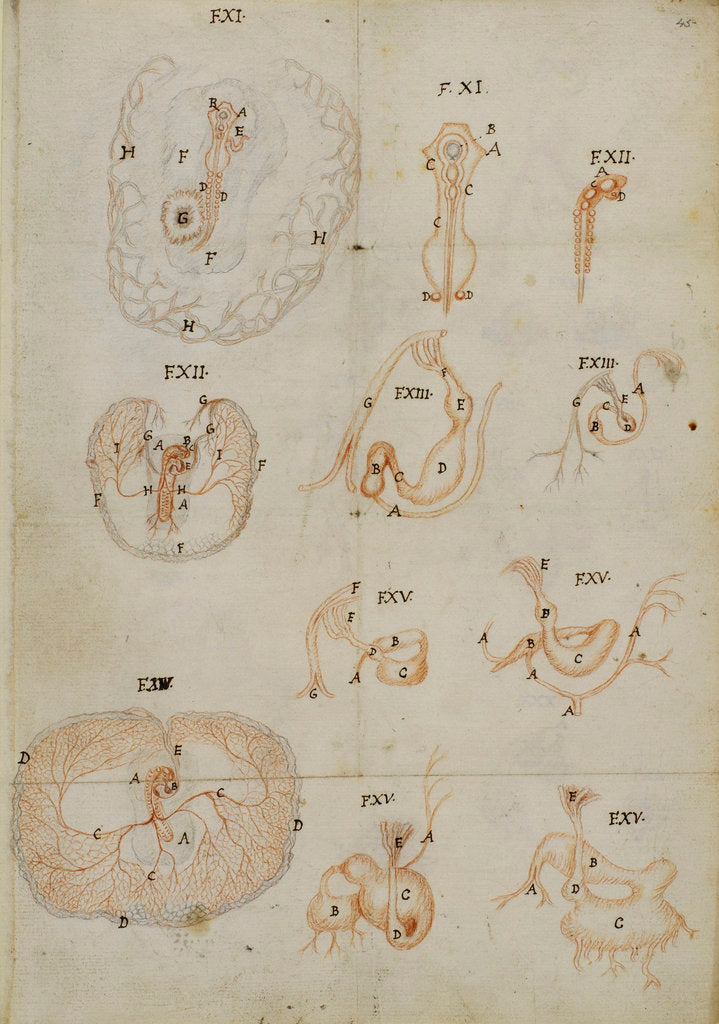 Detail of Developmental stages of chicken embryo by Marcello Malpighi