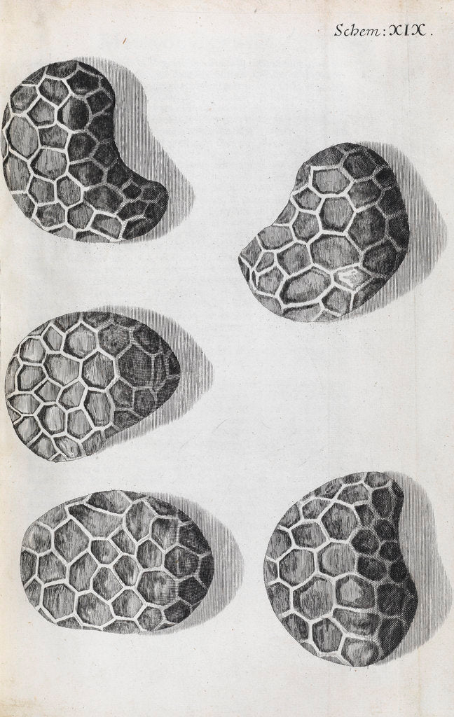 Detail of Microscopic views of poppy seeds by Robert Hooke