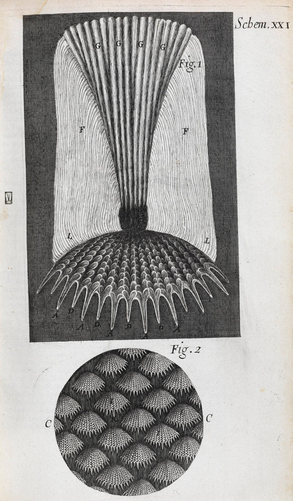 Detail of Microscopic views of fish scales by Robert Hooke