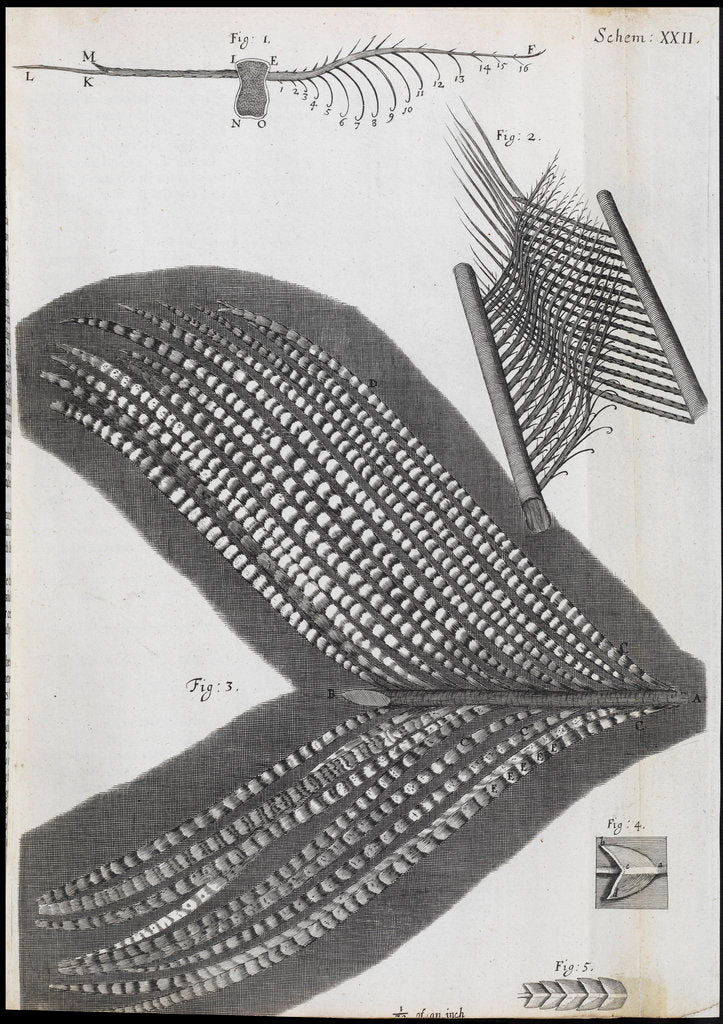 Detail of Microscopic views of feathers by Robert Hooke