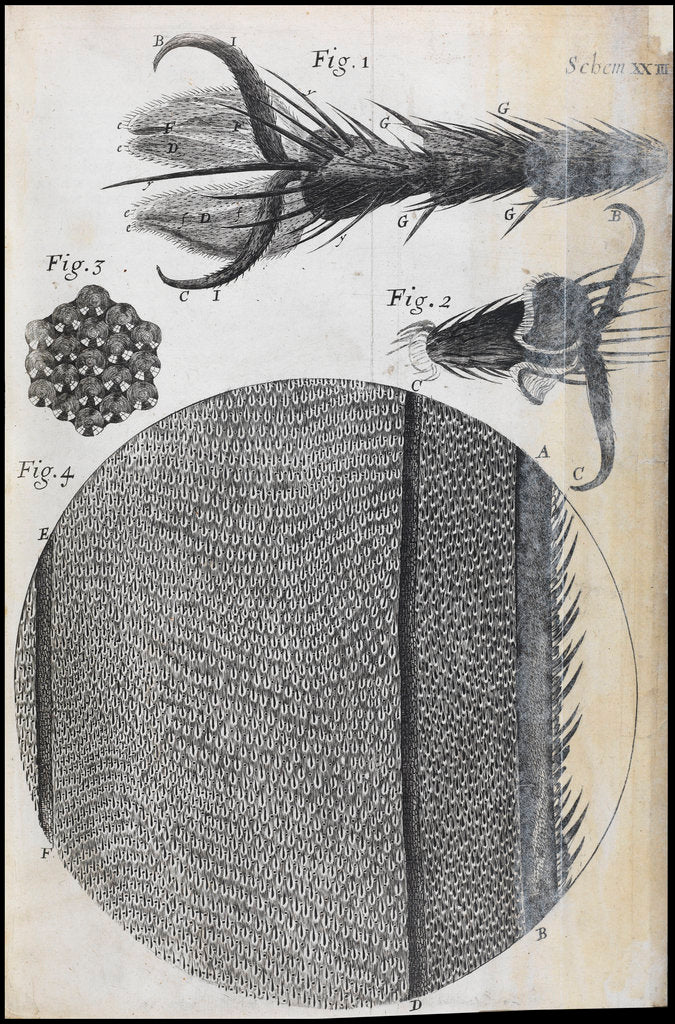 Detail of Microscopic views of a fly by Robert Hooke