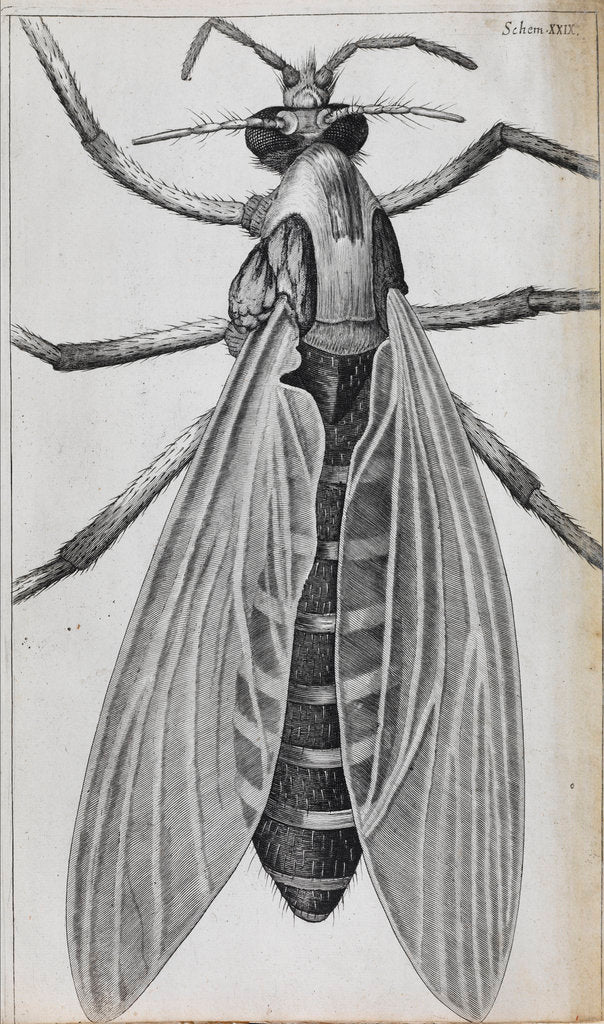 Detail of Microscopic views of a female gnat by Robert Hooke