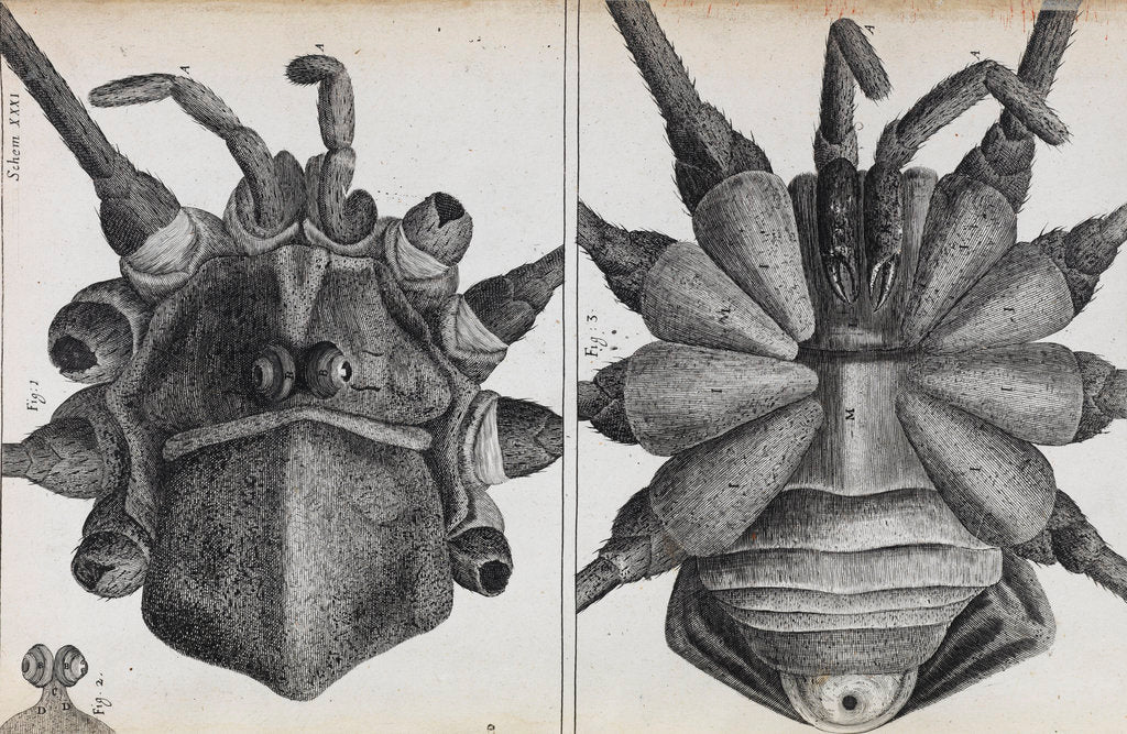 Detail of Microscopic views of a spider by Robert Hooke