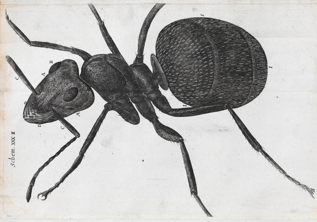 Detail of Microscopic view of an ant by Robert Hooke
