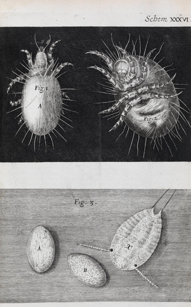 Detail of Microscopic views of mites by Robert Hooke