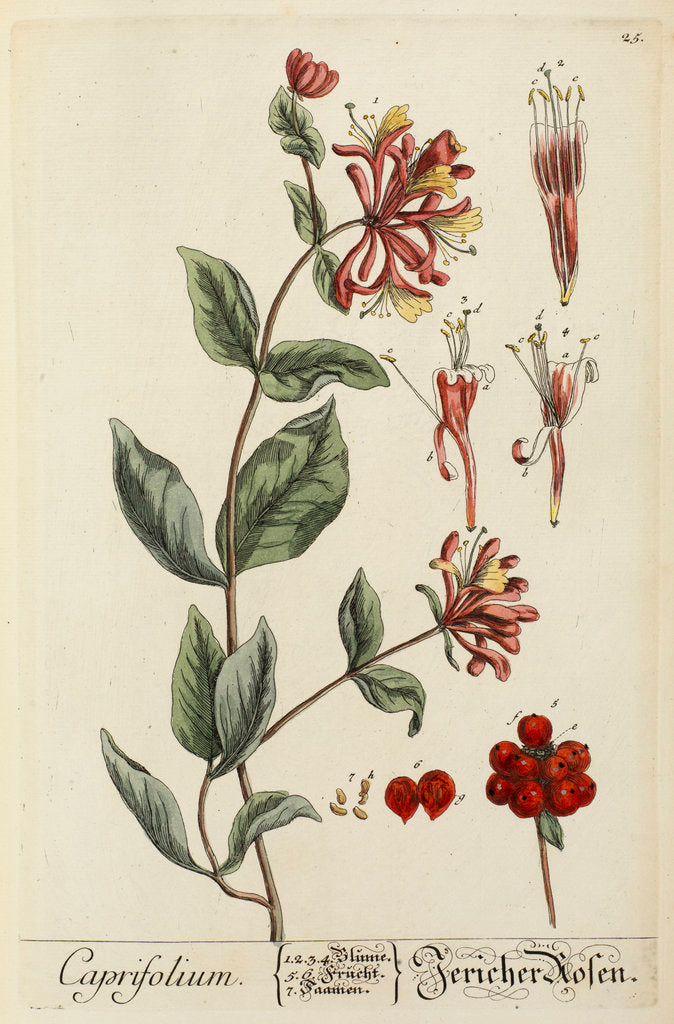 Detail of 'Caprifolium' by Elizabeth Blackwell