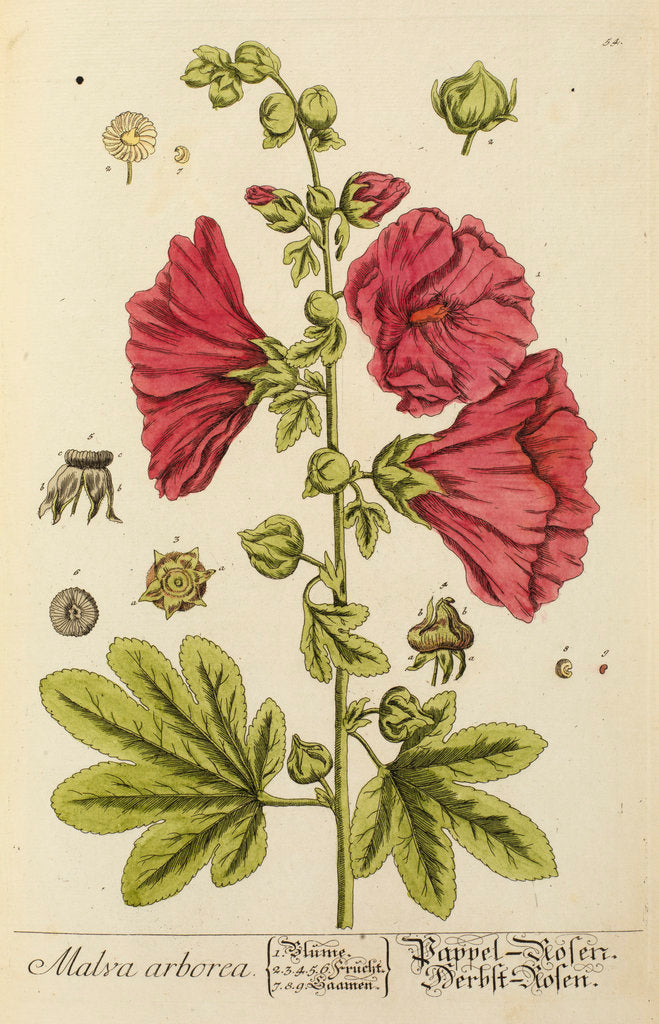 Detail of 'Malva arborea' by Elizabeth Blackwell