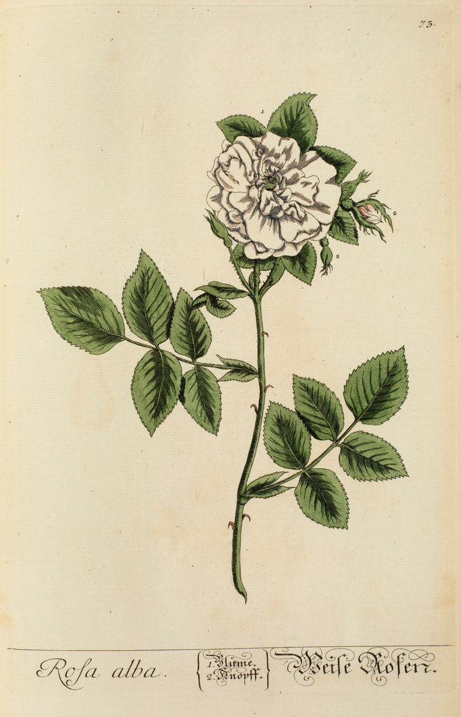 Detail of 'Rosa alba' by Elizabeth Blackwell