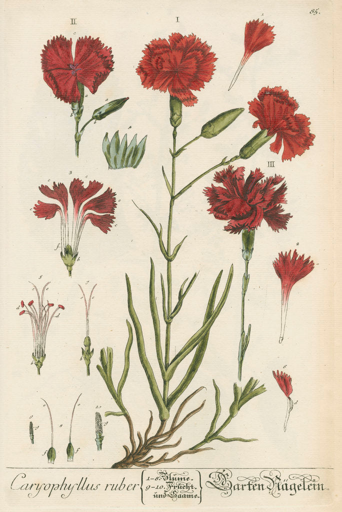 Detail of 'Caryophyllus ruber' by Elizabeth Blackwell
