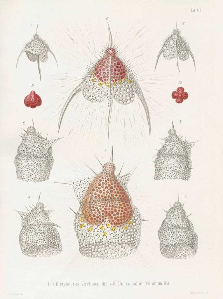 Detail of 'Dictyoceras virchowii' and 'Dictyopodium trilobum' by W Wagenschieber