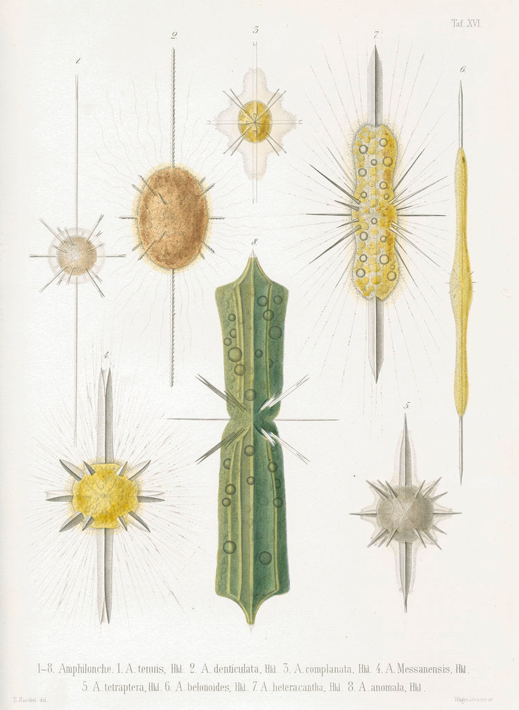 Detail of Various classes of radiolarian by W Wagenschieber