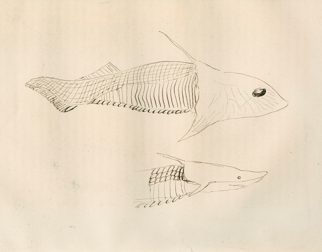 Detail of Armoured fish ['Placodermi'] by Anonymous