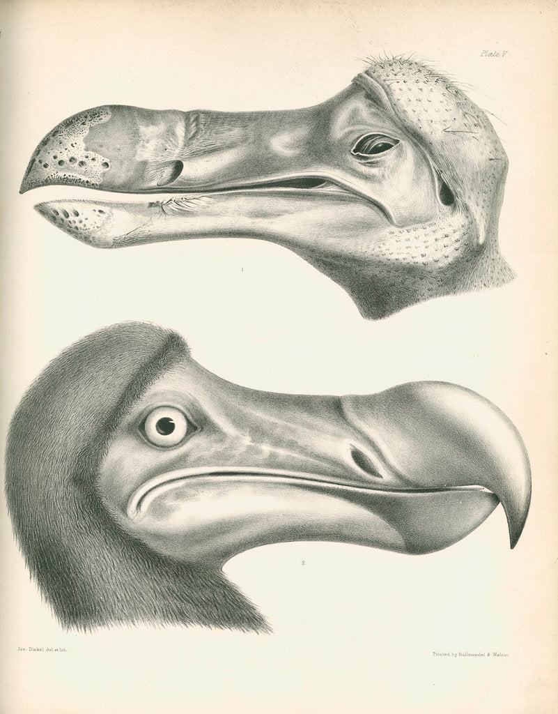Detail of Two studies of a Dodo head by Joseph Dinkel