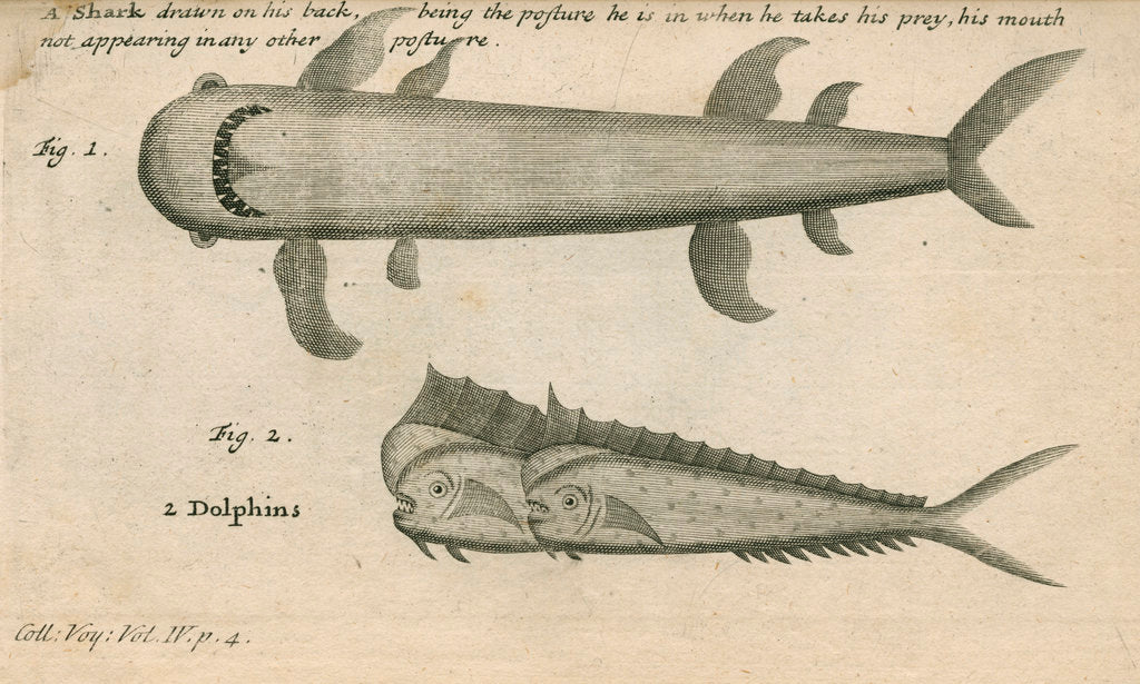 Detail of Marine life observed by William Funnell by Anonymous