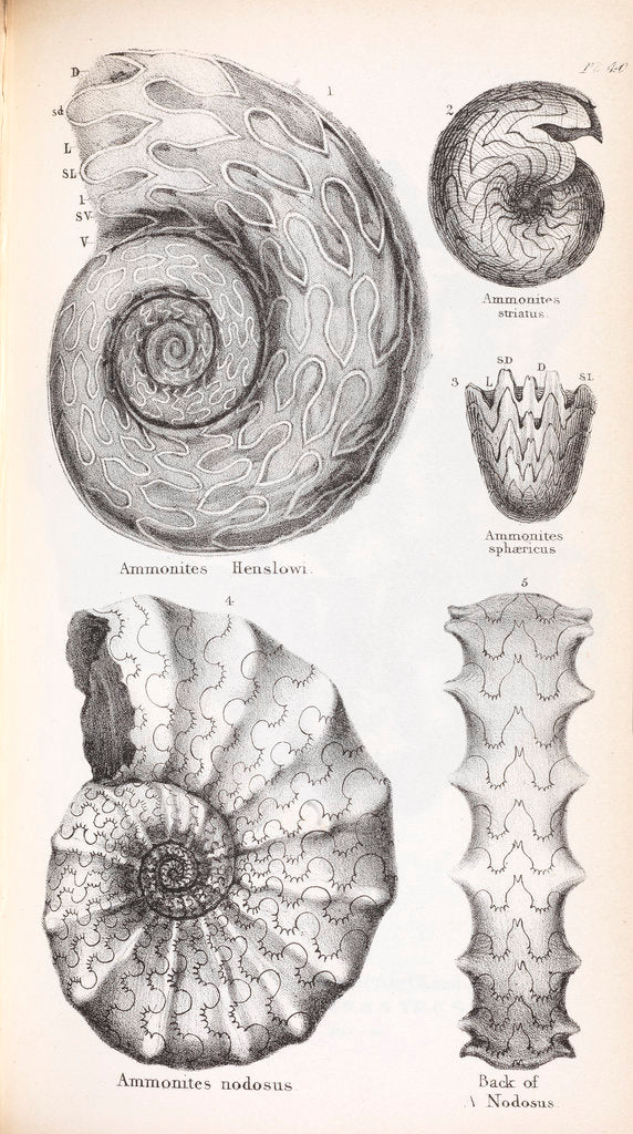 Detail of Four genus of ammonite by Edward Lear