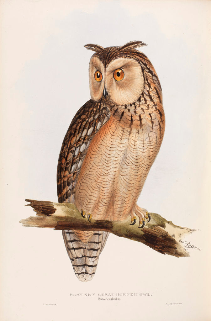 Detail of Eastern Great Horned Owl by Edward Lear